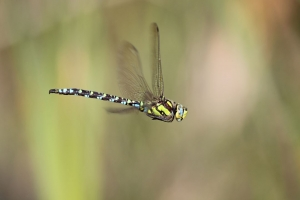 Southern Hawker (male)