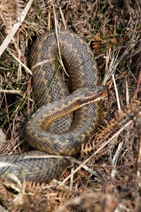 Adder (female)