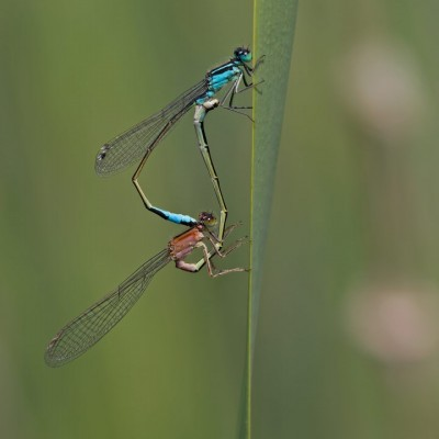 Blue tailed Damselflies