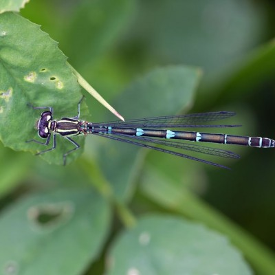 Common Blue damselfly imm.