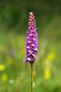Common Fragrant Orchid