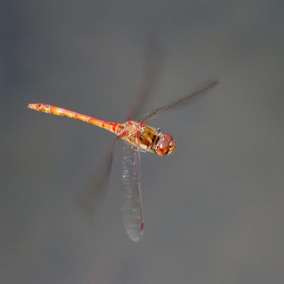 Common Darter (m)