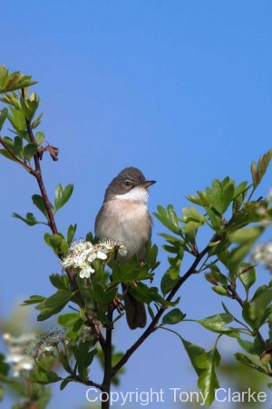 Whitethroat male
