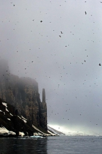 Guillemot Breeding Colony