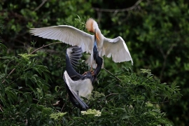 Herons fighting
